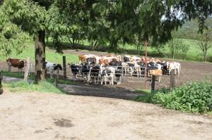 Die nächste Generation Milchkühe.